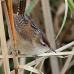 Marsh Wren - Cistothorus palustris