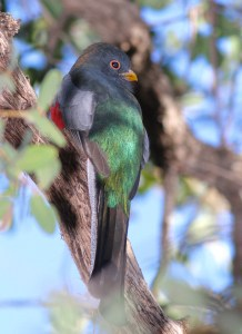 Photo of Elegant Trogon