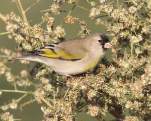 Photo of Lawrence's Goldfinch