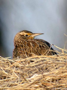 Photo of Western Meadowlark - Sturnella neglecta
