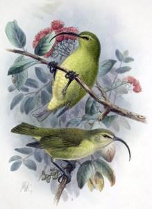 Lesser 'akioloa