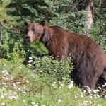 Grizzly Bear - Ursus arctos horribilis