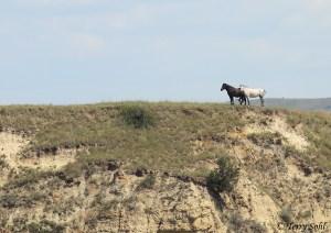 Wild Horses - Teddy Roosevelt National Park