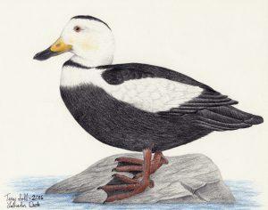 Labrador Duck - Camptorhynchus labradorius