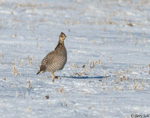 Greater Prairie Chicken - Tympanuchus cupido