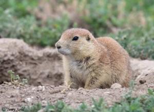 Black-tailed Prairie Dog - Cynomys ludovicianus