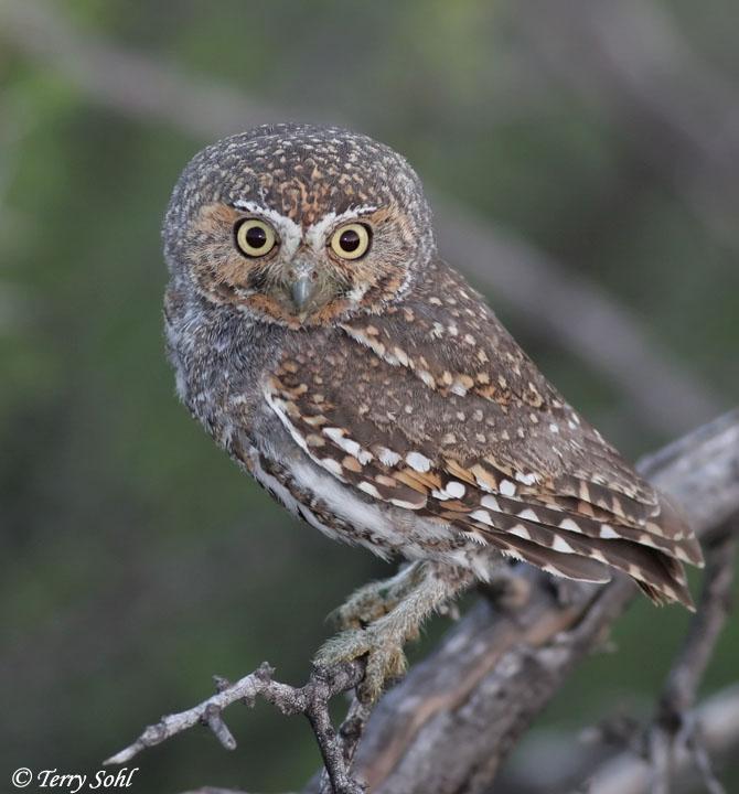 Elf Owl - Micrathene whitneyi