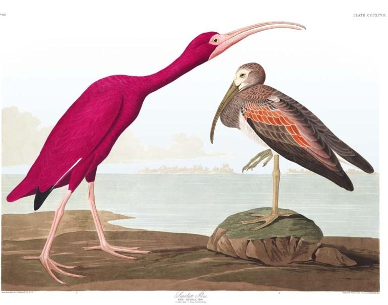 Audubon's Plate 397 - Scarlet Ibis