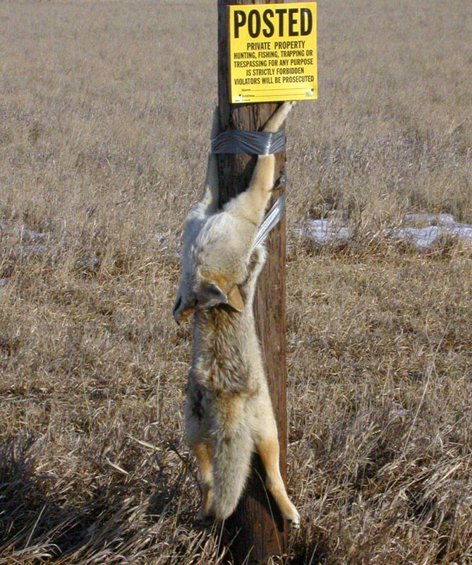 Coyote - Shot near Presho, South Dakota