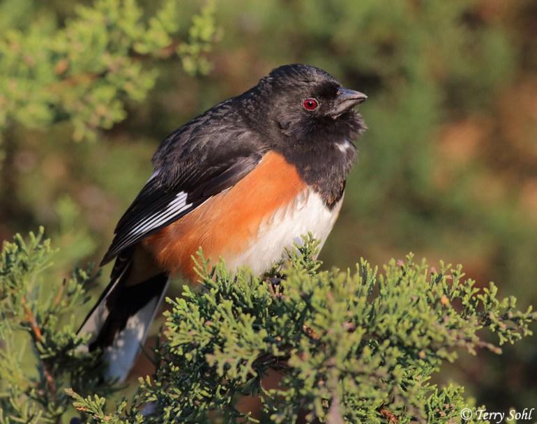 Eastern Towhee - Pipilo erythrophthalmus