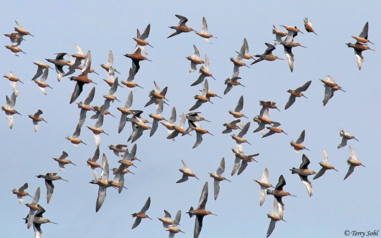Long-billed Dowitchers and Hudsonian Godwit