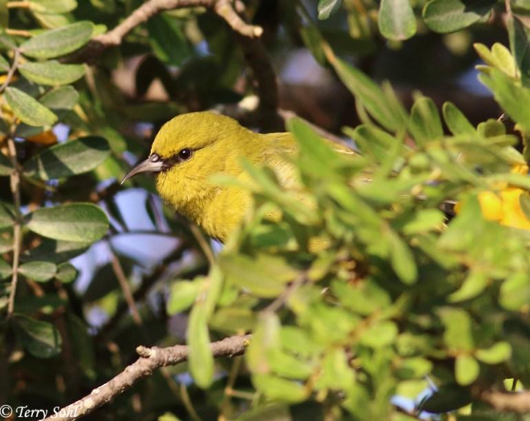 Hawai'i 'Amakihi - Chlorodrepanis virens