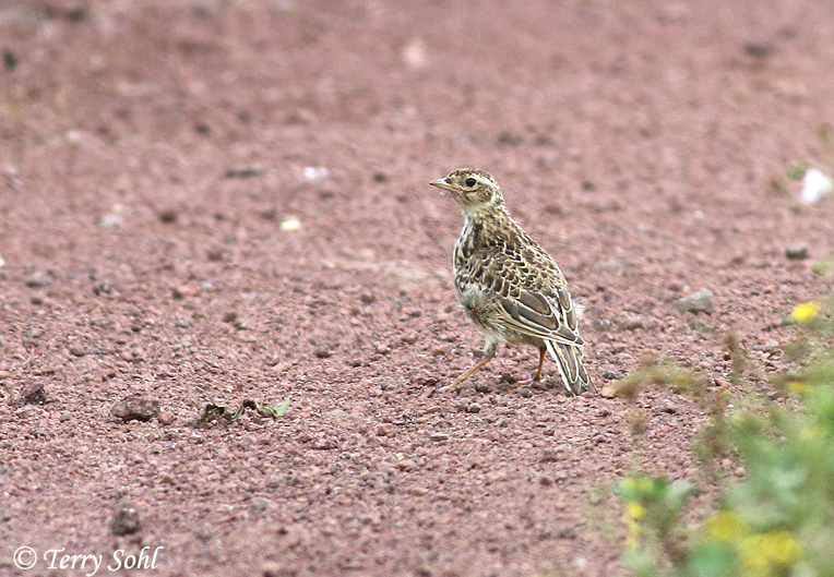 Photo of Eurasian Skylark - Alauda arvensis