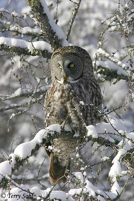 Great Grey Owl - Strix nebulosa