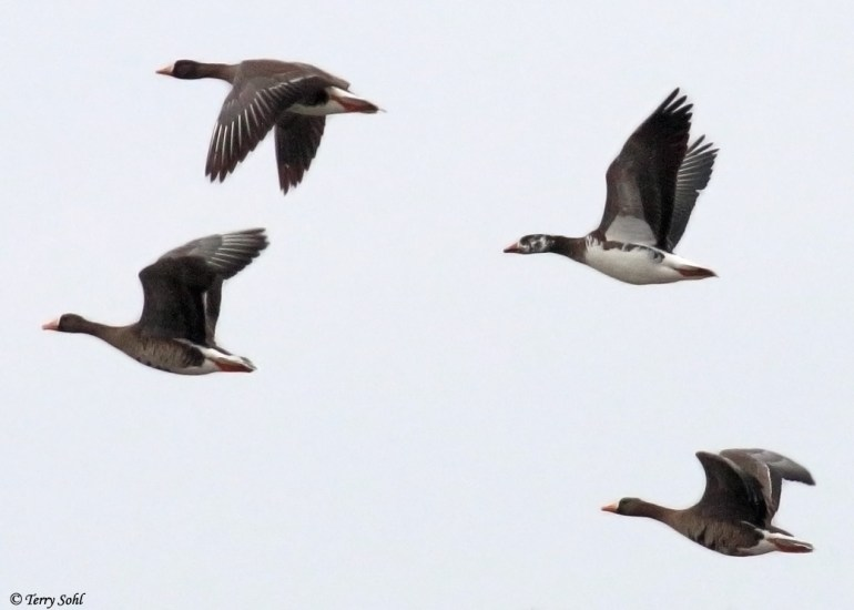 Snow Goose / Greater White-fronted Goose Hybrid
