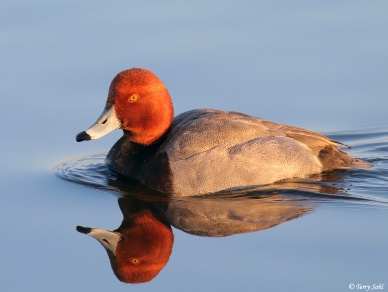 Redhead Drake - Aythya americana