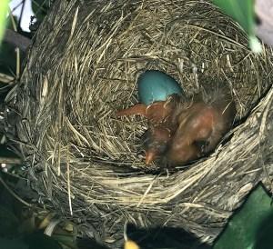 American Robin Nest - Turdus migratorius