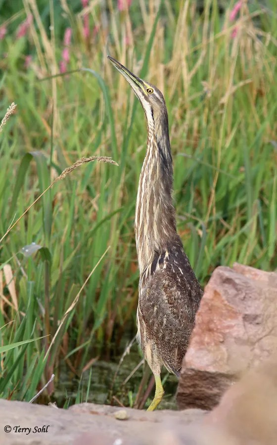American Bittern - Botaurus lentiginosus