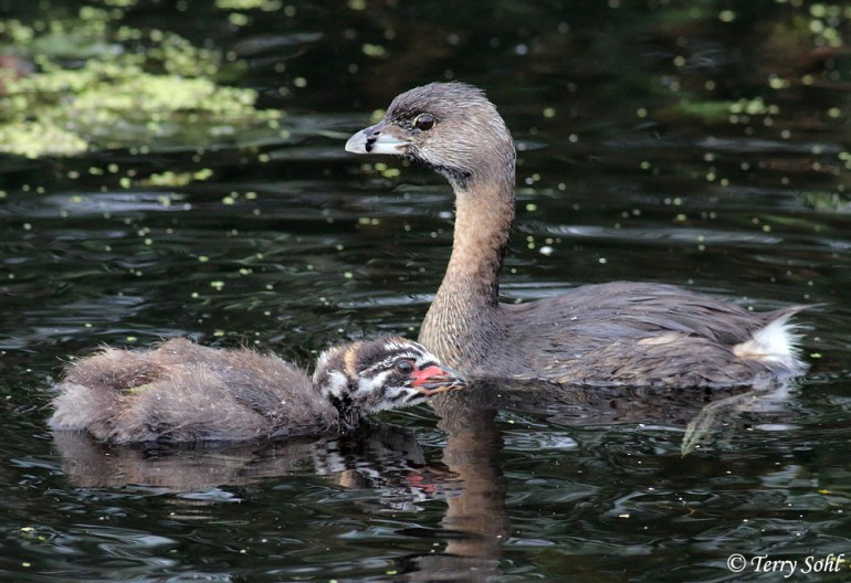 Pied-billed Grebe and Young