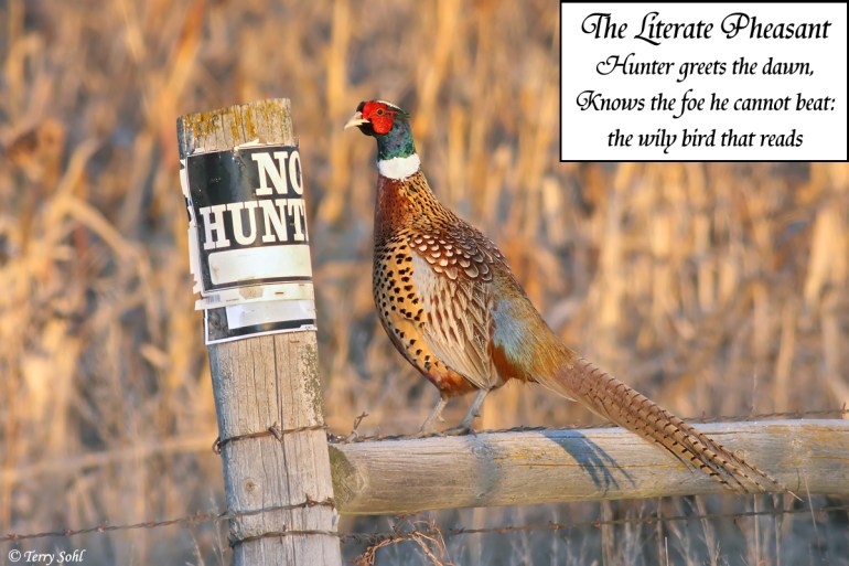 Ring-necked Pheasant - No Hunting