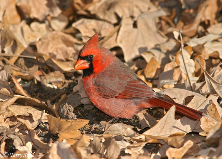 Northern Cardinal - Haiku of the Day