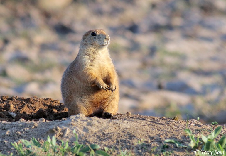 The Sentry's Bark - Black-tailed Prairie Dog
