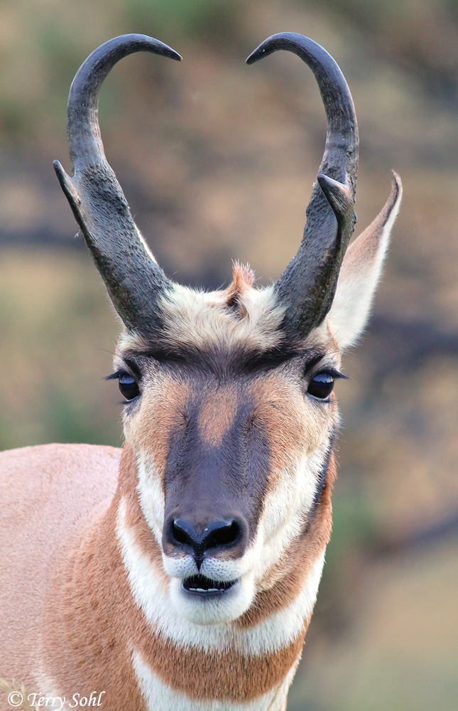 Pronghorn Buck - Antilocapra americana