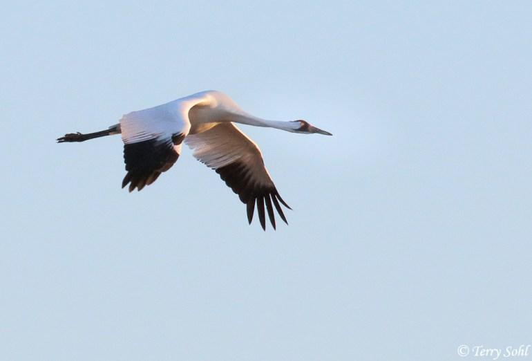 Whooping Crane - Grus americana