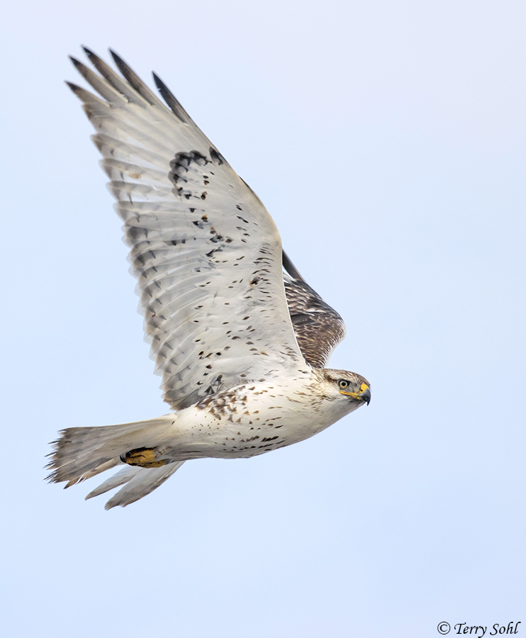 Ferruginous Hawk - Buteo regalis