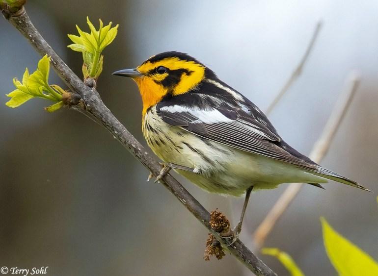 Blackburnian Warbler - Setophaga fusca May 16th, 2020 Beaver Creek Nature Area, South Dakota