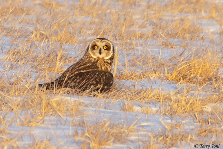 Short-eared Owl - Asio flammeus - Near Brookings, South Dakota