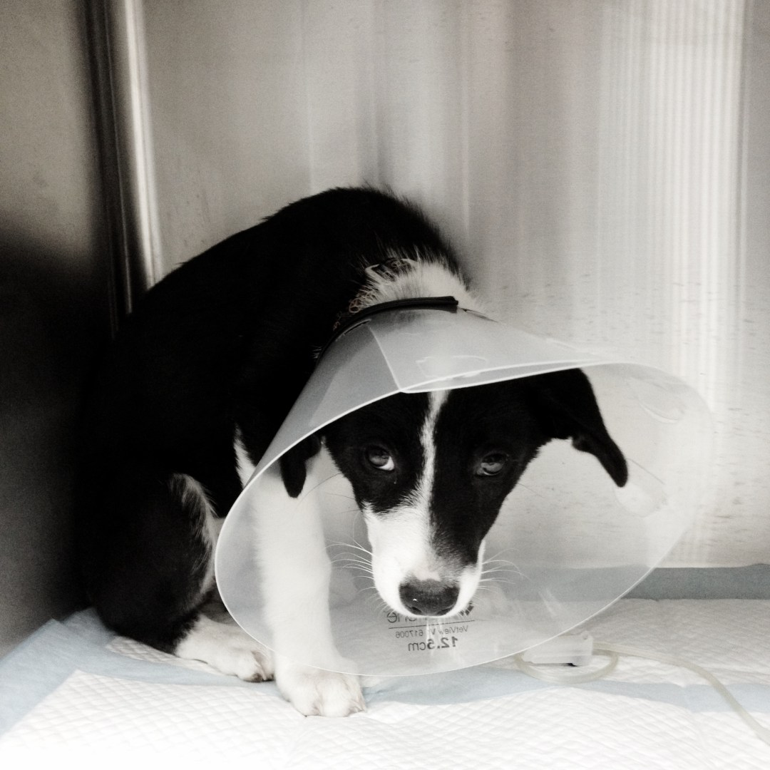 HANA Fund Rescue Black and White Puppy with cone