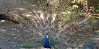 un pavone si mostra in tutta al sua bellezza con la coda a ventaglio aperto