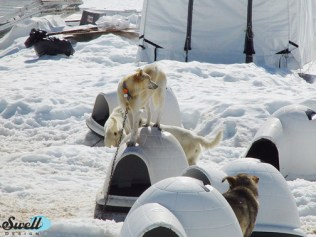 An Iditarod dog sled team trains in the summer on Godwin Glacier (only accessible by plane)