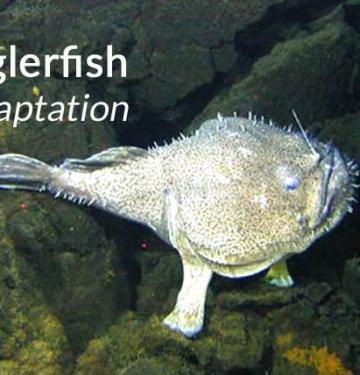 anglerfish adaptations