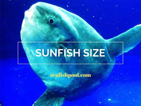 sunfish size