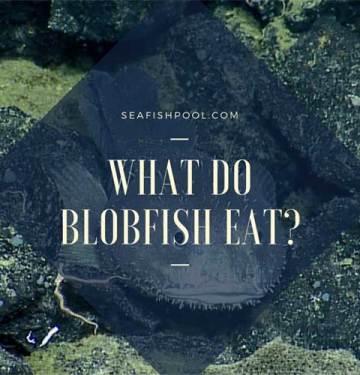 what do blobfish eat