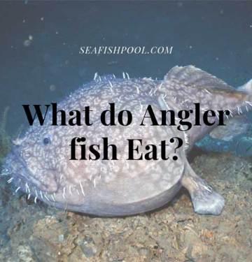 what do angler fish eat diet