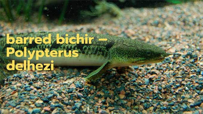 Barred bichir or Polypterus Delhezi
