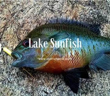 lake-Sunfish