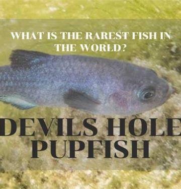 Devil's Hole Pupfish - What is the Rarest Fish in the World?