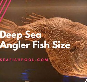 deep sea angler fish size