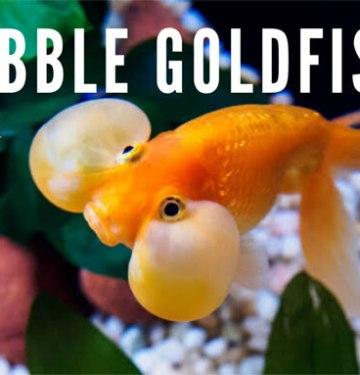 Bubble Goldfish