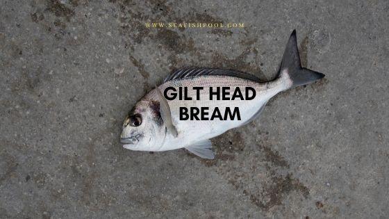 gilt head bream