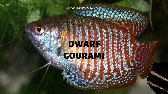 dwarf gourami