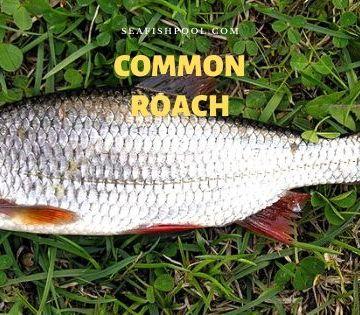 Common roach
