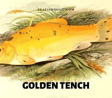 Golden Tench