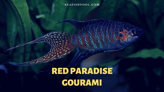 red paradise gourami