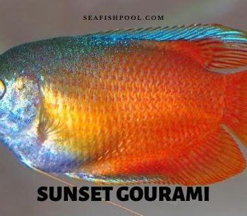 sunset gourami