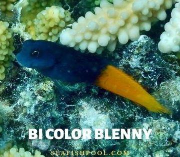bi color blenny